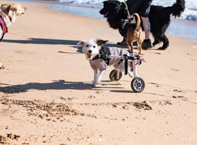a dog in a wheelchair at the beach