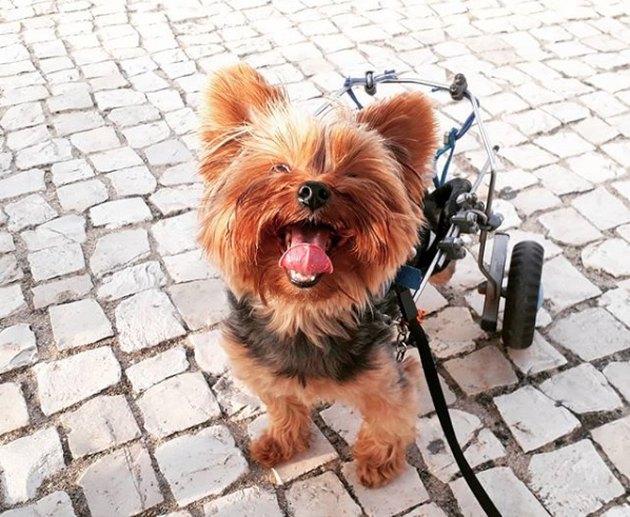 yorkie in wheelchair