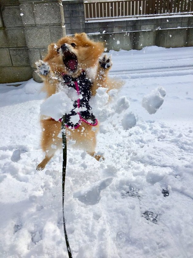 Dog trying to catch a snowball