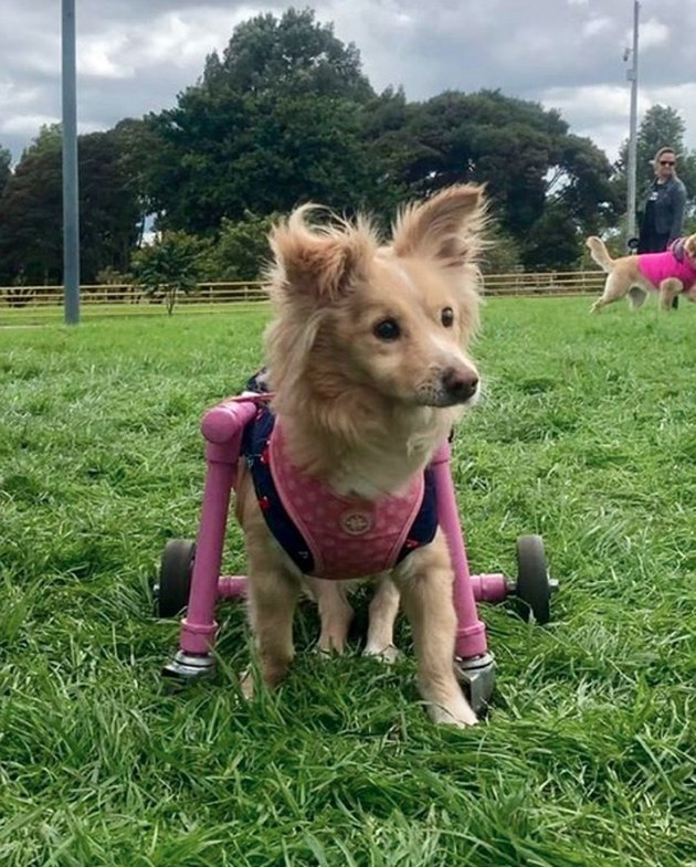 dog in pink vest and pink wheels