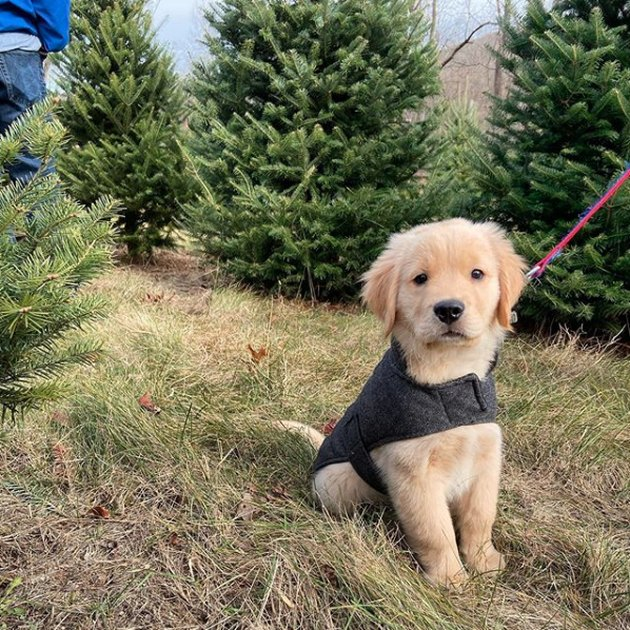 golden puppy in Christmas tree farm