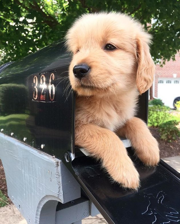 golden puppy in mailbox