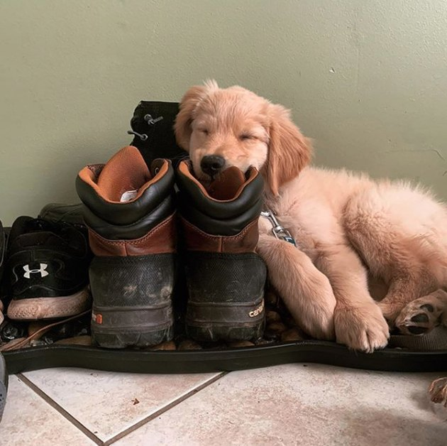golden puppy napping in a shoe