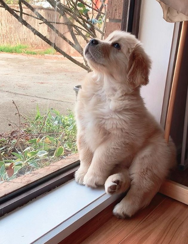 golden puppy posing by window