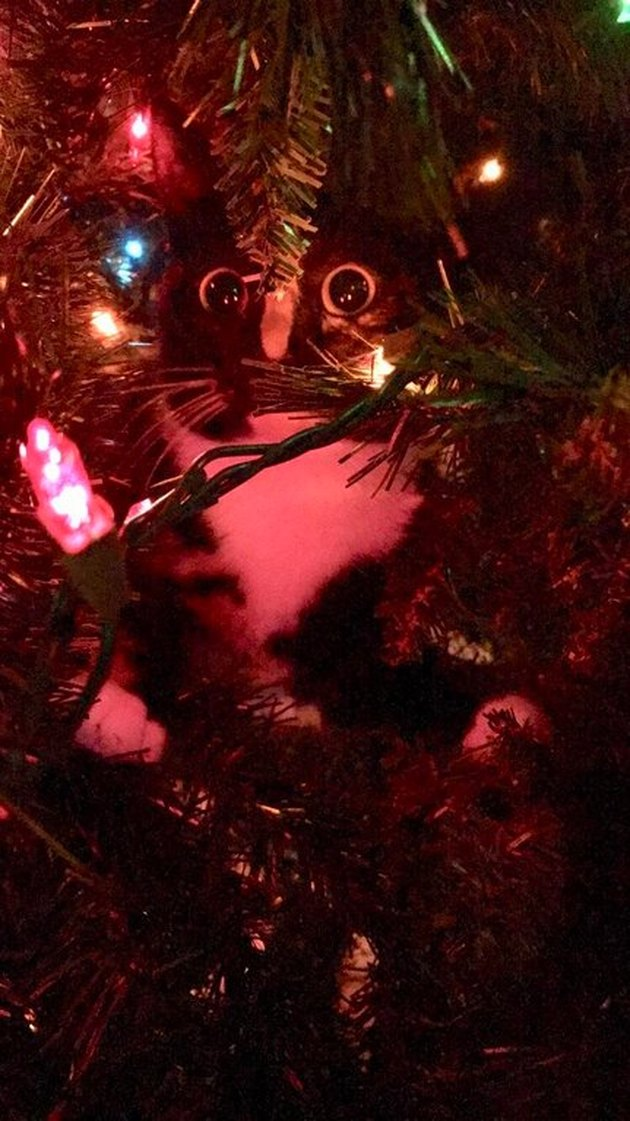 Cat looking at Christmas tree lights