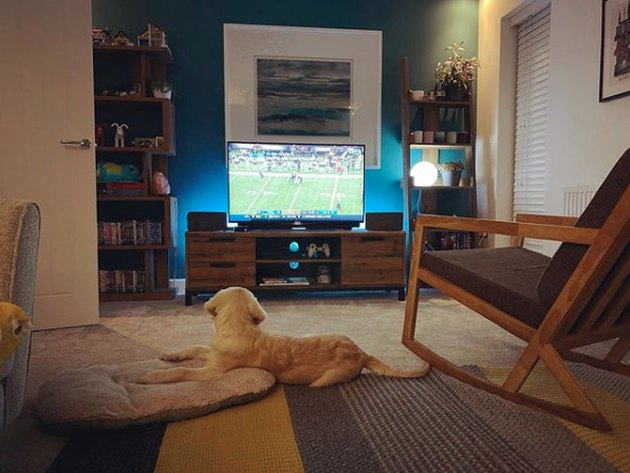 golden puppy watching football on TV