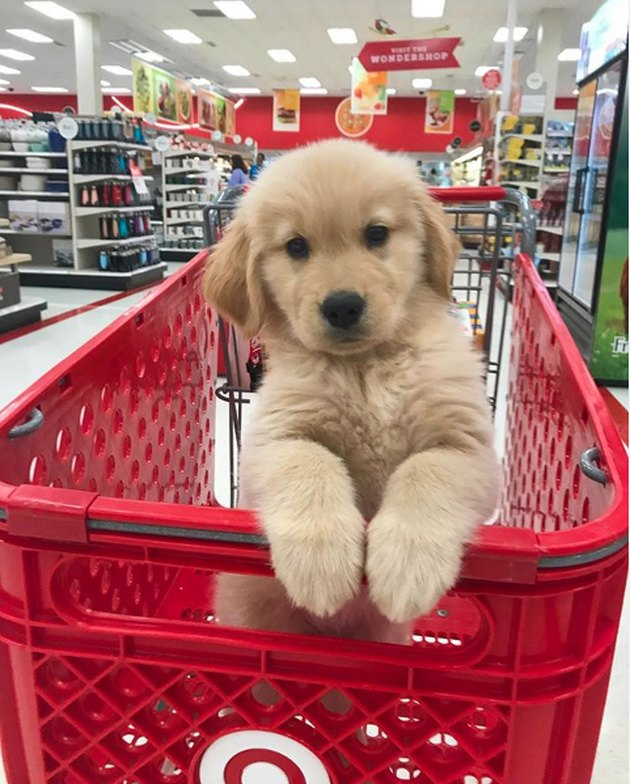 golden puppy in shopping carpet