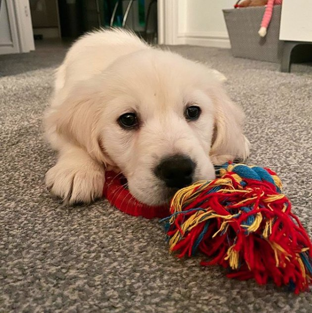 golden puppy with rope toy