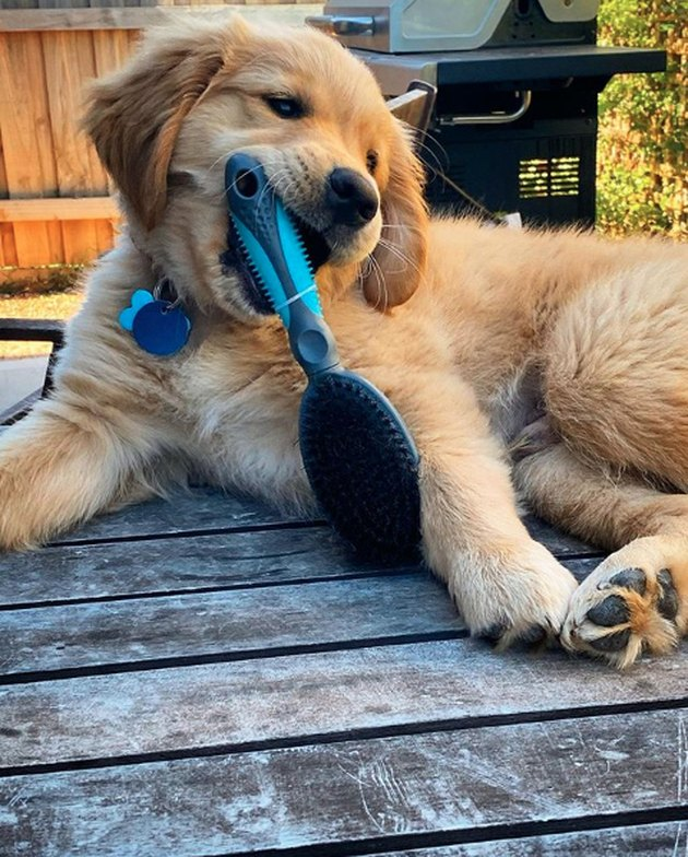 golden puppy eating hairbrush