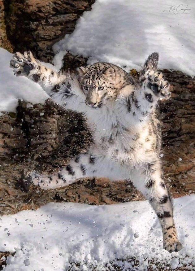 snow leopard jumps in air