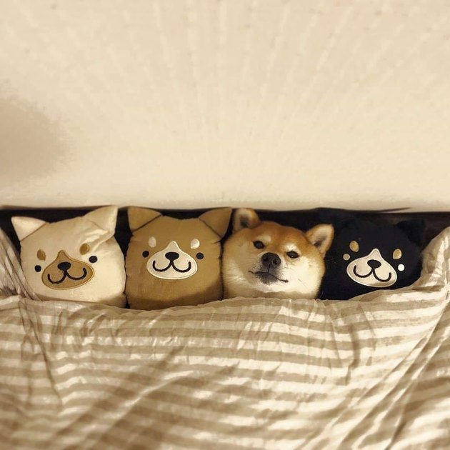 shibu inu dog cuddles with plush dolls