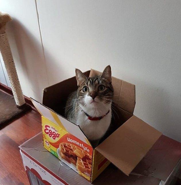 cat inside Eggo waffle box