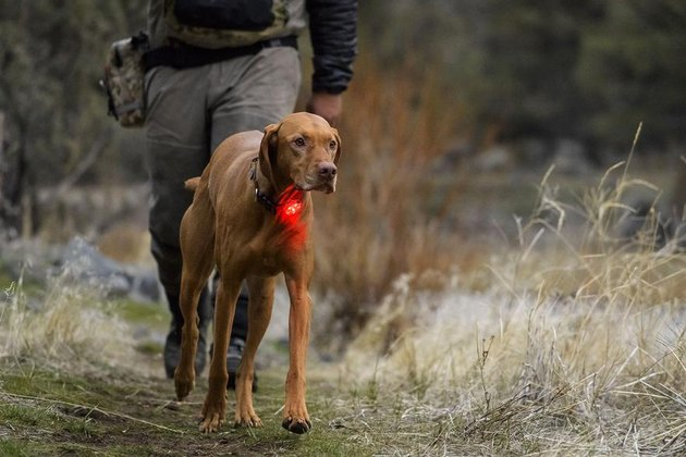 dog wears red beacon safety light