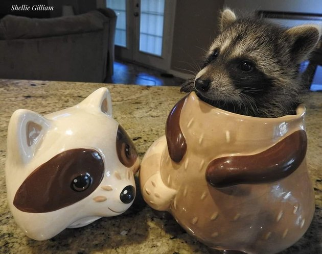 raccoon hiding in porcelain cookie jar