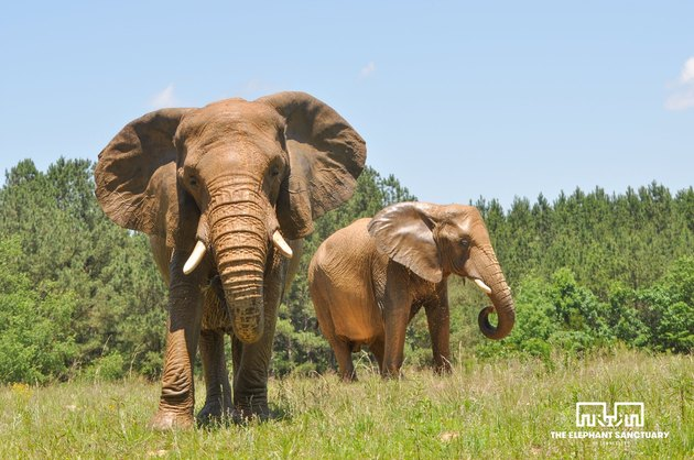 elephants frolic at sanctuary in Tennessee