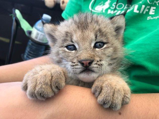 baby lynx at Soper Creek Wildlife Rescue