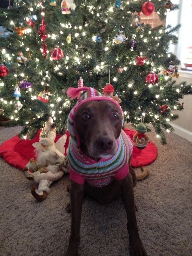 excited dog in hooded sweater in front of Christmas tree