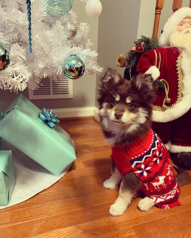 cute dog in Christmas sweater next to Christmas tree