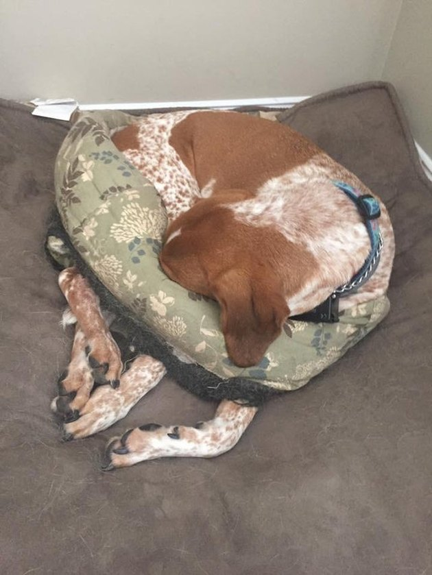 Dog curled up in dog bed with a hole chewed through it