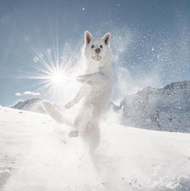 white dog jumping in snow