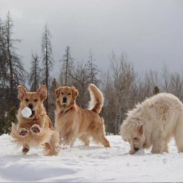 three dogs playing in snow