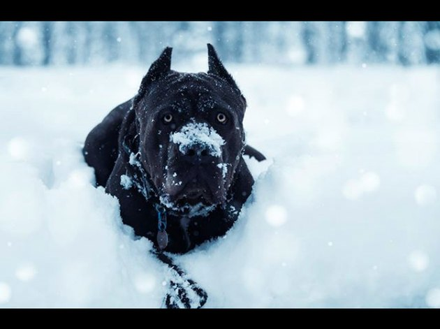 black dog in snow
