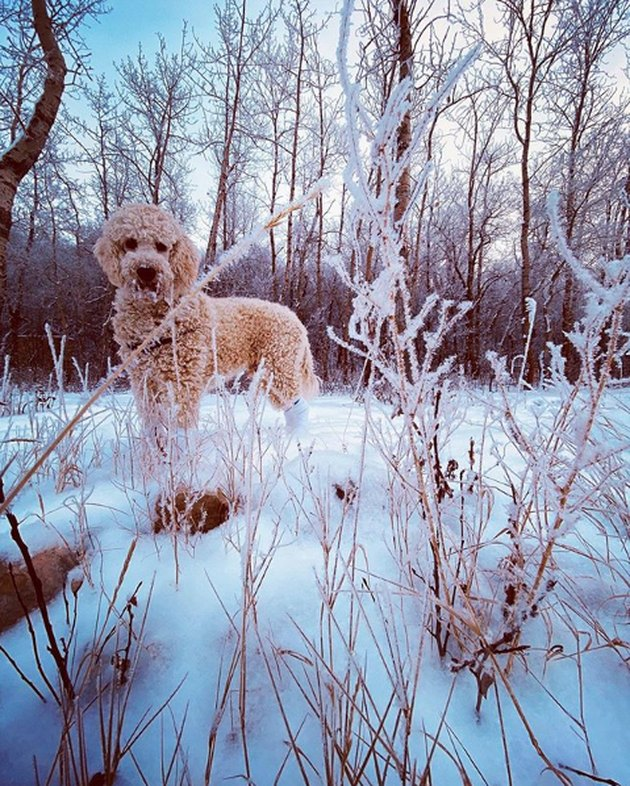 goldendoodle in snow