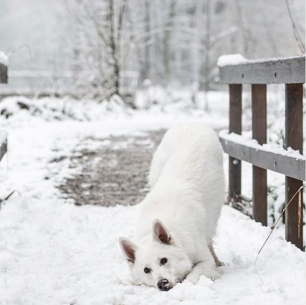 white shepherd dog in snow