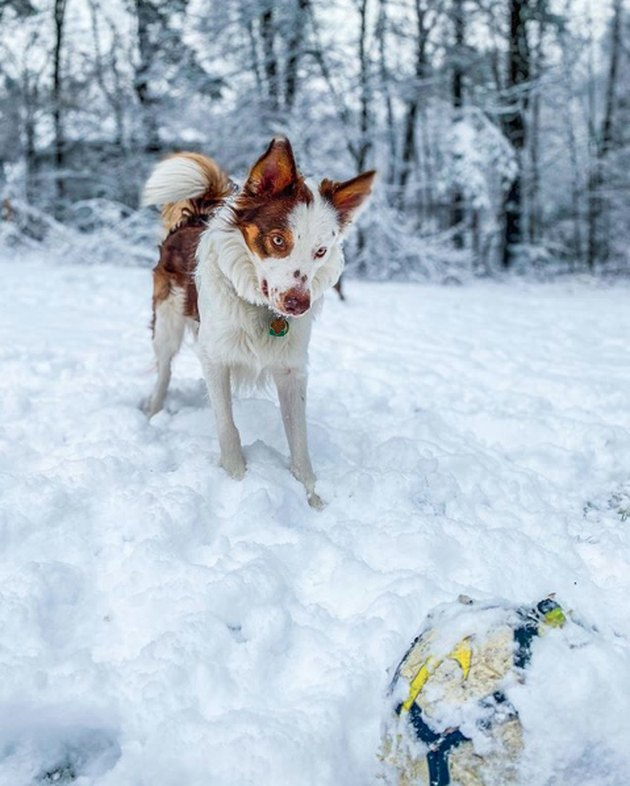 dog playing with a ball in the snow
