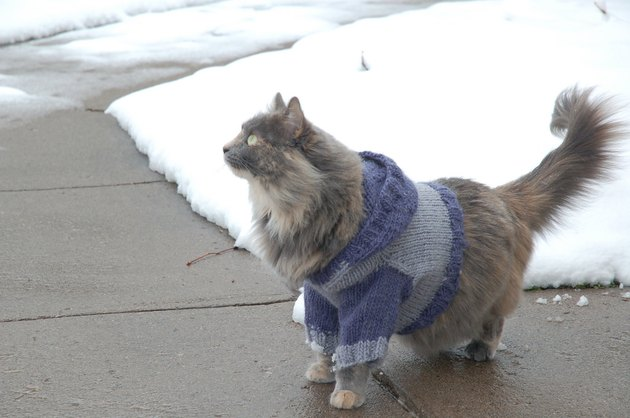 Cat wearing a sweater.
