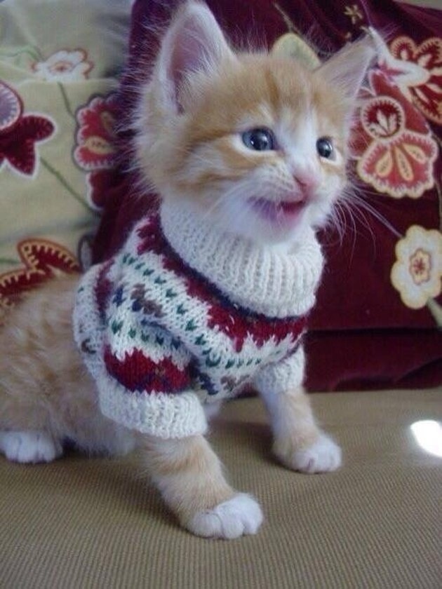 Kitten wearing a sweater.