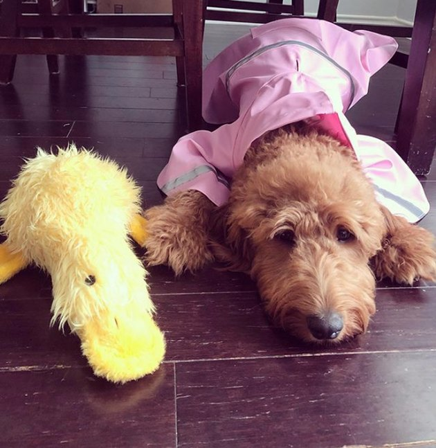 dog lying next to duck toy