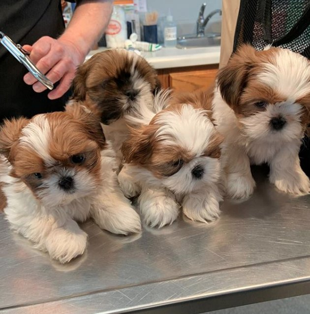 four shihtzu puppies on the exam table