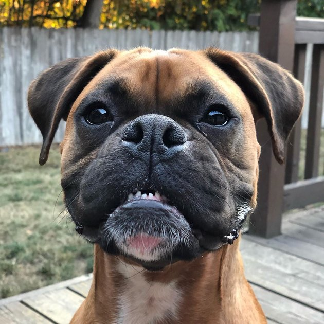 Boxer dog smiling with lower teeth at camera
