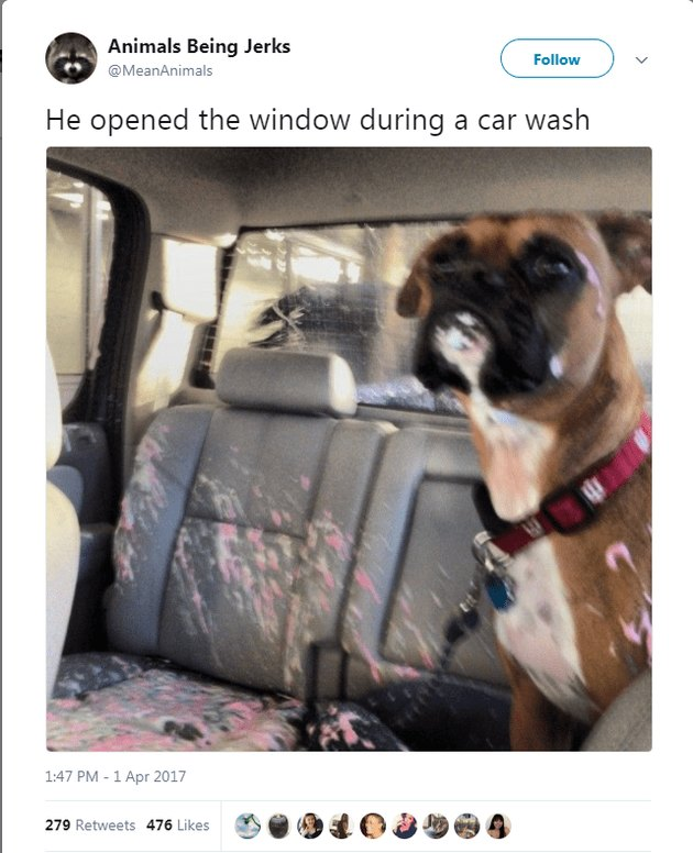 Boxer dog opened the window during a car wash