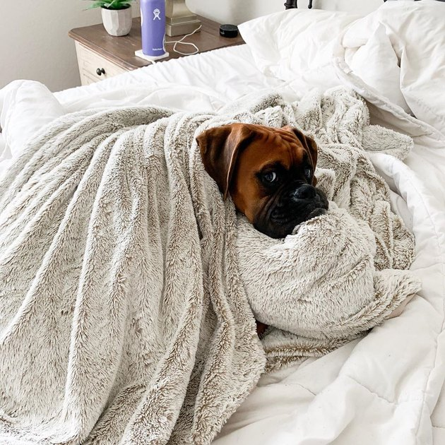 Boxer dog wrapped in blankets on bed