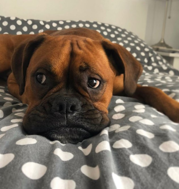 Boxer dog laying in bed on blankets