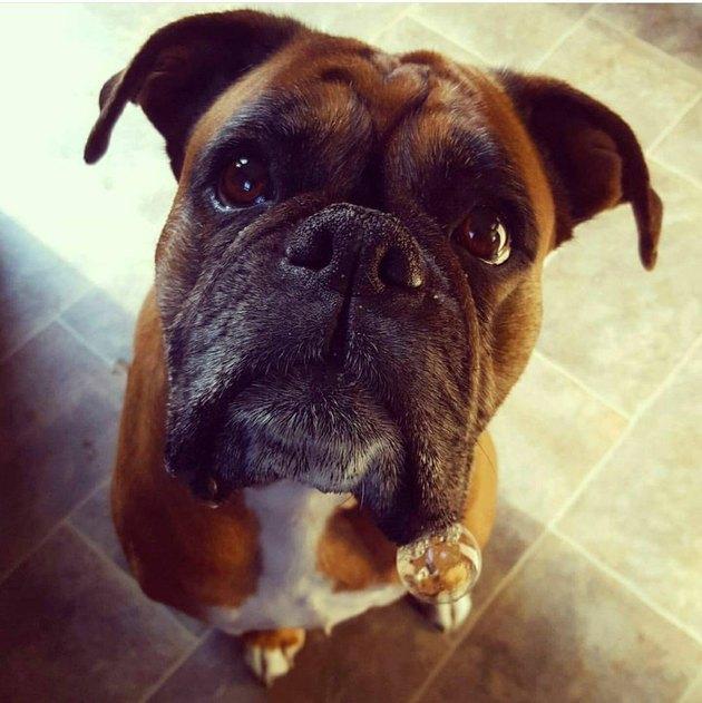 Boxer dog looking at camera