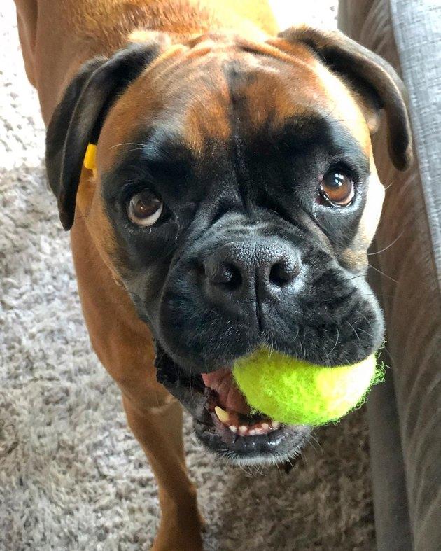 Boxer dog with tennis ball