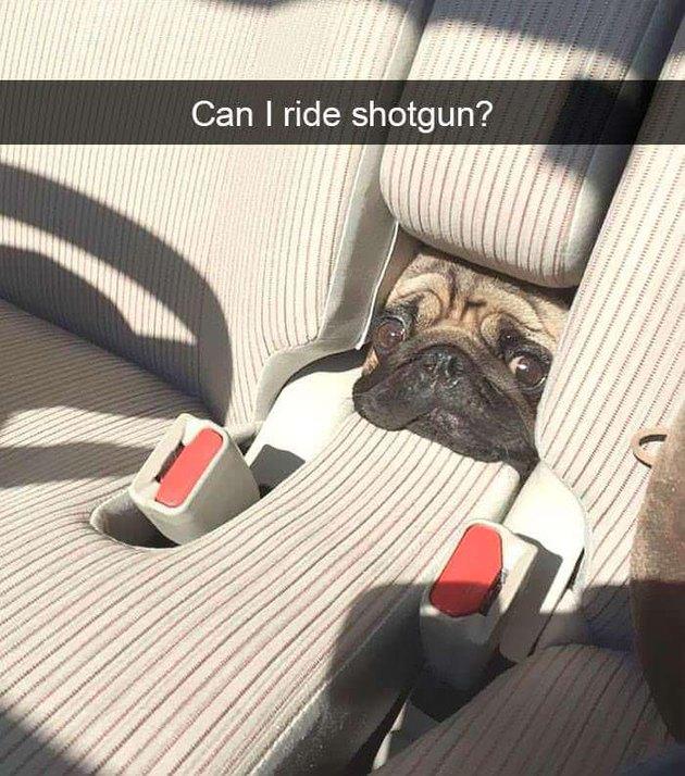 Pug in a car.