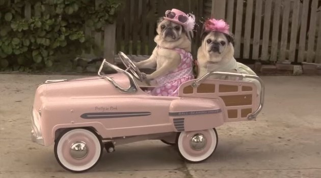 Two pugs in a pink car.