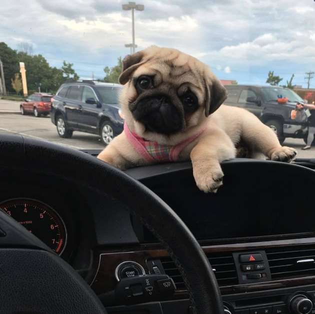 Pug on the dashboard of a car.