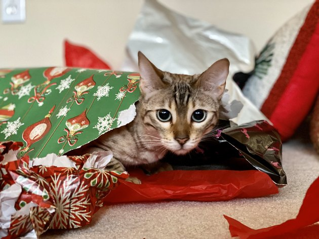 cat sleeps in bed of wrapping paper
