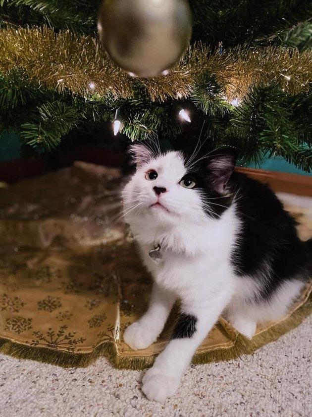 cat named Dobrik sitting under Christmas tree
