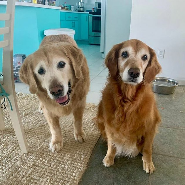 golden retrievers named Swizzle & Cheese sitting next to table