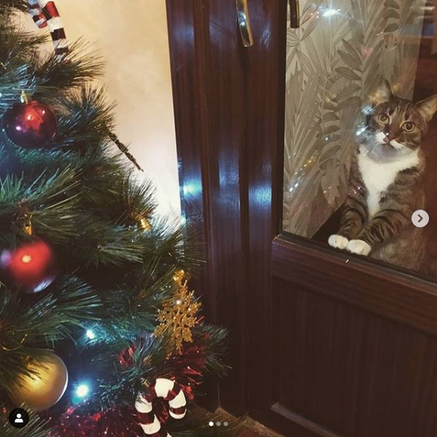 cat stares at Christmas tree it wants to kill through closed glass door