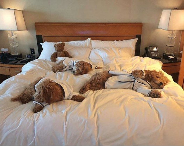 three golden doodle dogs on hotel bed in robes