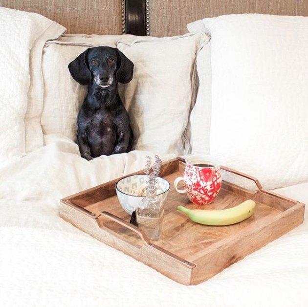 dog having breakfast in bed