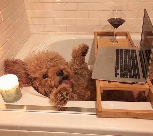 dog with laptop in bathtub