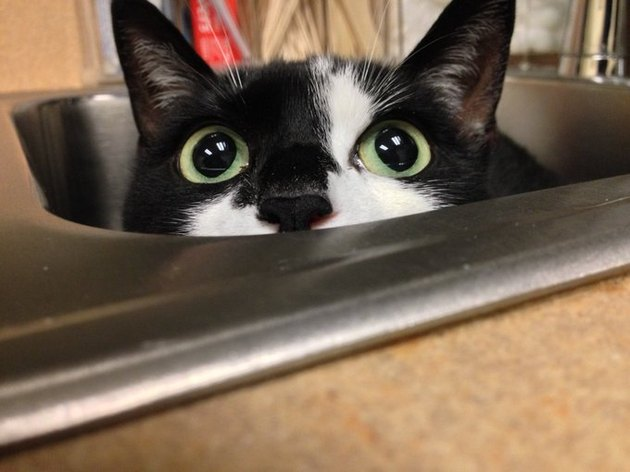 tuxedo cat tries to give vet the slip by hiding in sink